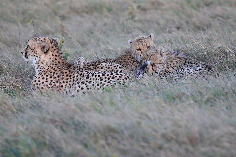 Cheetah_Family_Phinda_2016_0087