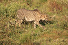 Cheetah_Adventure_Phinda_2016_0009