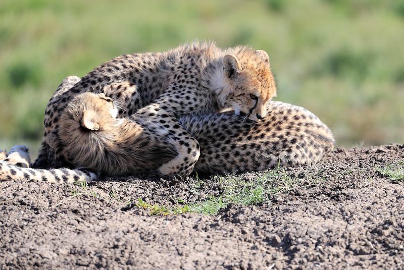 Cheetah_Family_Phinda_2016_0156