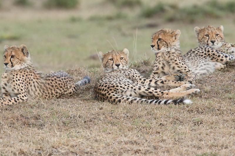 Cheetah_Family_Portraits_Mara_Kenya_Asilia_20150041