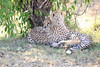 Cheetah_Cubs_Mara_Kenya_Asilia_20150062