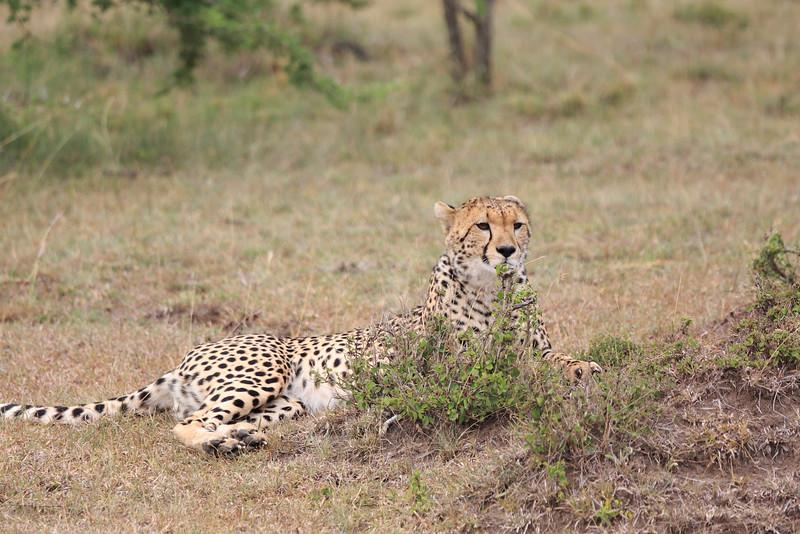 Cheetah_Mara_Asilia_Kenya0024