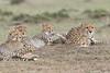 Cheetah_Family_Portraits_Mara_Kenya_Asilia_20150047