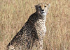 Mother Cheetah  Western Serengeti