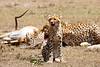 Cheetah_Feast_Mara_Kenya_Asilia_20150074