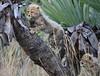 Cheetah Phinda South Africa-27