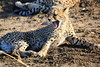 Cheetah_Family_Phinda_2016_0018