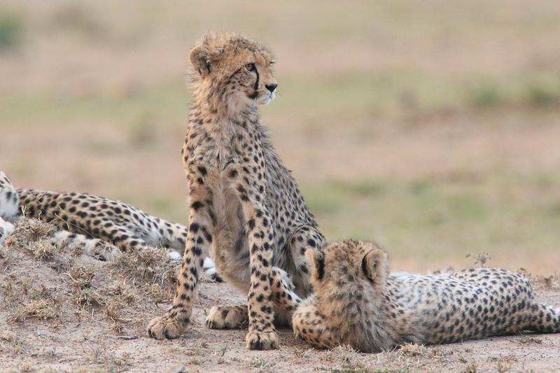 Cheetah_Cubs__Mara_Kenya_Asilia_20150014