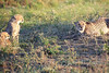 Cheetah_Adventure_Phinda_2016_0115