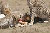 Cheetah_Feast_Mara_Kenya_Asilia_20150255