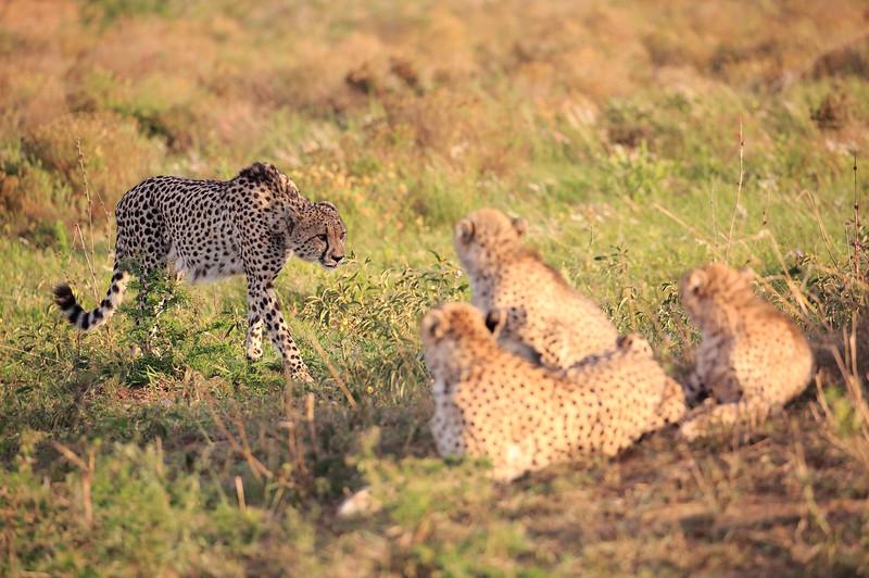 Cheetah_Adventure_Phinda_2016_0049