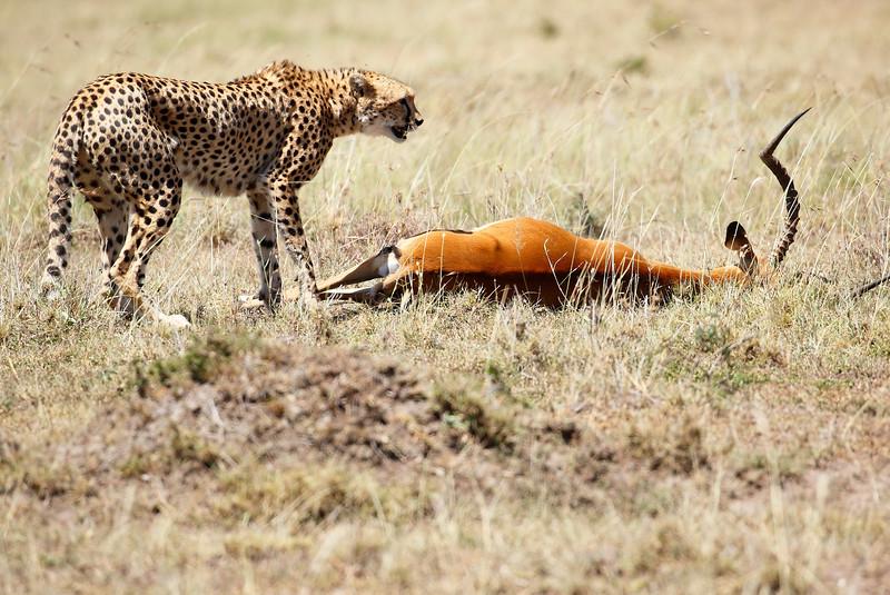 Cheetah_Feast_Mara_Kenya_Asilia_20150193