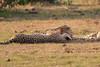Cheetah_Cubs_Mara_Kenya_Asilia_20150222