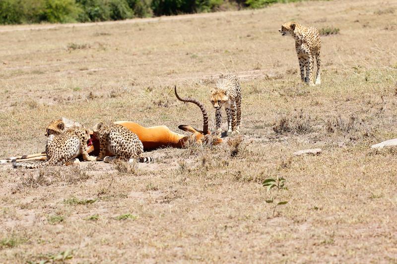 Cheetah_Feast_Mara_Kenya_Asilia_20150044