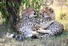 Cheetah_Cubs_Mara_Kenya_Asilia_20150089