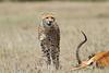 Cheetah_Feast_Mara_Kenya_Asilia_20150237