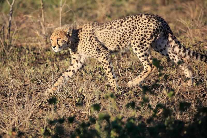 Cheetah_Family_Phinda_2016_0061