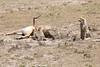 Cheetah_Feast_Mara_Kenya_Asilia_20150002