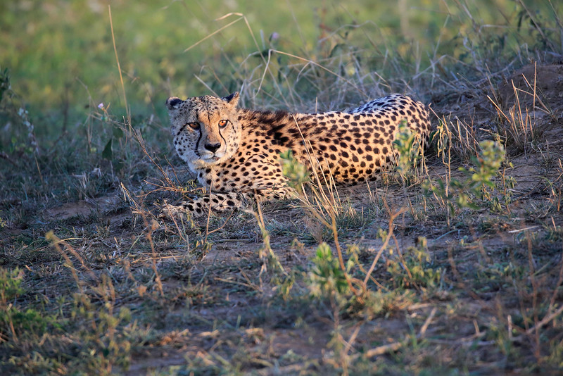 Cheetah_Adventure_Phinda_2016_0121
