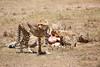 Cheetah_Feast_Mara_Kenya_Asilia_20150115