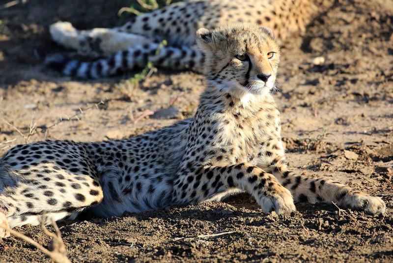 Cheetah_Family_Phinda_2016_0011