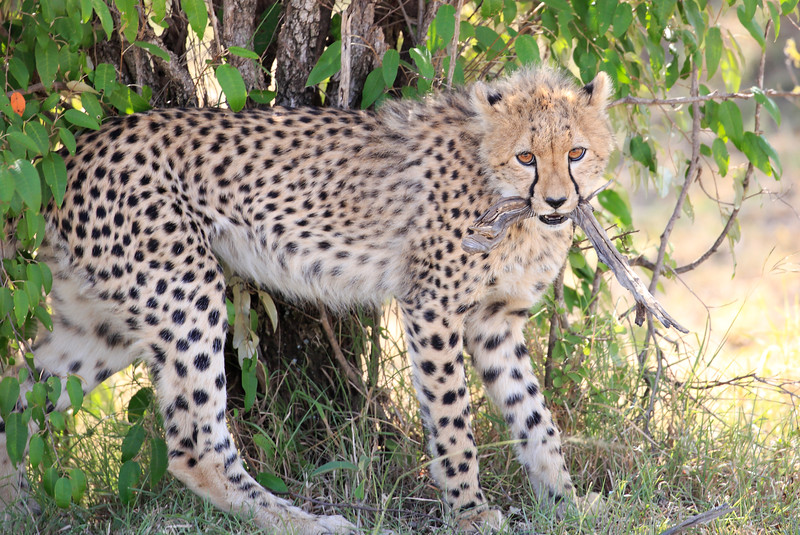 Cheetah_Cubs_Mara_Kenya_Asilia_20150028
