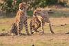 Cheetah_Cubs_Mara_Kenya_Asilia_20150232
