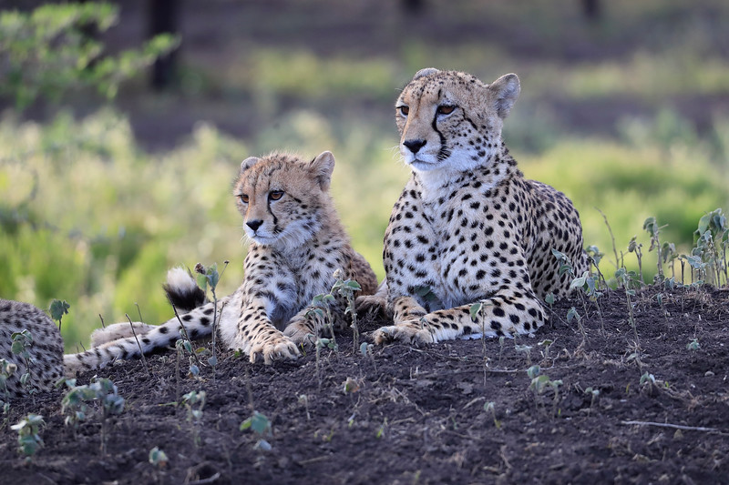 Cheetah_Family_Phinda_2016_0107