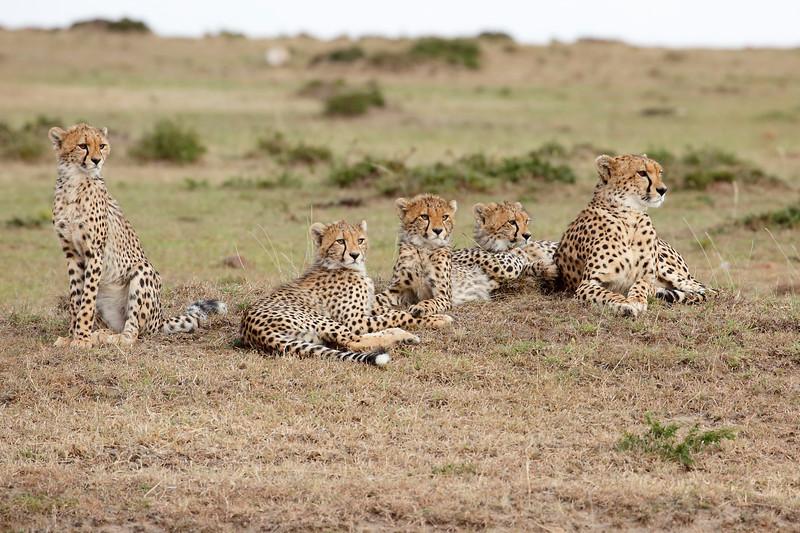 Cheetah_Family_Portraits_Mara_Kenya_Asilia_20150008