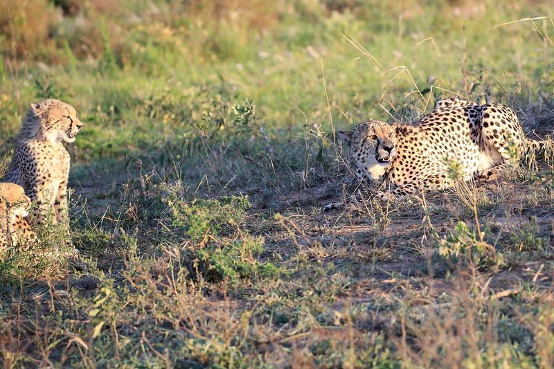 Cheetah_Adventure_Phinda_2016_0114