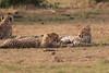 Cheetah_Cubs_Mara_Kenya_Asilia_20150291