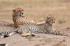 Cheetah_Cubs__Mara_Kenya_Asilia_20150018