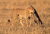Cheetah Cubs Morning Hunt Mara Topi House