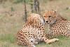 Cheetah_Mara_Asilia_Kenya0055