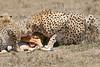Cheetah_Feast_Mara_Kenya_Asilia_20150252