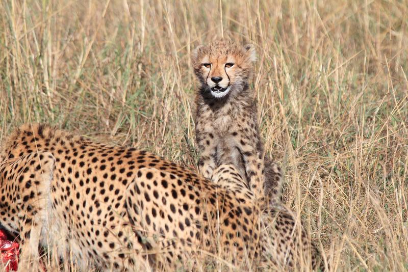 Cheetah Feeding with Cubs Mara Topi House