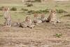 Cheetah_Family_Portraits_Mara_Kenya_Asilia_20150010