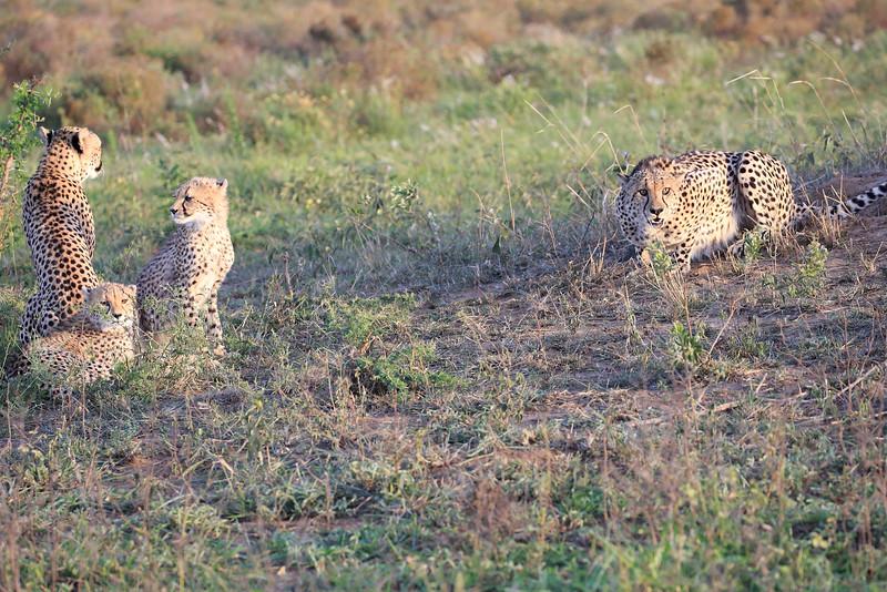 Cheetah_Adventure_Phinda_2016_0103