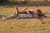 Cheetah_Cubs_Mara_Kenya_Asilia_20150180