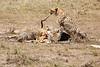 Cheetah_Feast_Mara_Kenya_Asilia_20150102