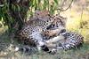Cheetah_Cubs_Mara_Kenya_Asilia_20150078