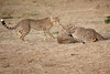 Cheetah_Cubs_Mara_Kenya_Asilia_20150158