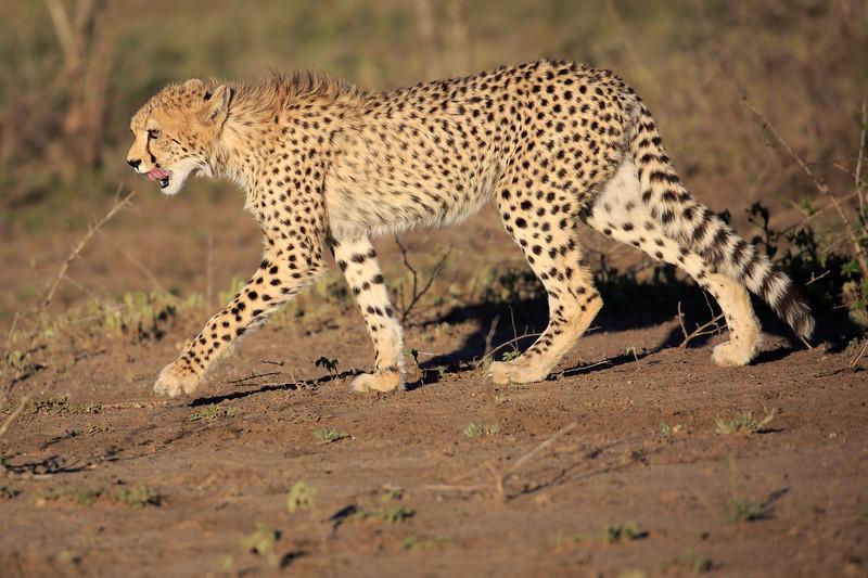 Cheetah_Family_Phinda_2016_0041