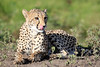 Cheetah_Family_Phinda_2016_0147