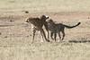 Cheetah_Cub_Playing_Mom_Mara_Kenya_Asilia_20150014