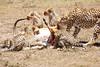 Cheetah_Feast_Mara_Kenya_Asilia_20150081