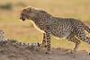 Cheetah_Cubs_Mara_Kenya_Asilia_20150249