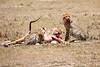 Cheetah_Feast_Mara_Kenya_Asilia_20150133