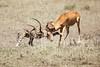 Cheetah_Feast_Mara_Kenya_Asilia_20150183