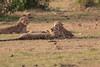 Cheetah_Cubs_Mara_Kenya_Asilia_20150286